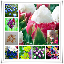 10PC Senior Variety of Rare Tulip Bulbs (it is not Tulip Seeds) imported Bonsai Flower Bulb