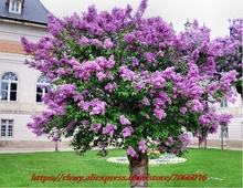 10Seeds/bag Home Garden Plant OLD FASHION FRENCH LILAC Flower Shrub Tree Seeds Free Shipping