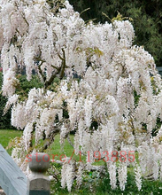 10 pcs/bag Wisteria seeds perennial wisteria tree white pink purple blue wisteria plants bonsai pot flower seeds for home garden(China)