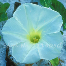 50 Morning Glory Seeds - Japanese Blue Morning Glory (Ipomoea Nil Blue- Seeds ) Dark blue with a purple star and a white edge