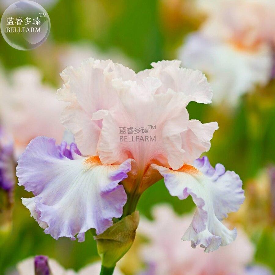 2018 Bellfarm Iris Sibirica Mixed Perennial Flower Seeds 500