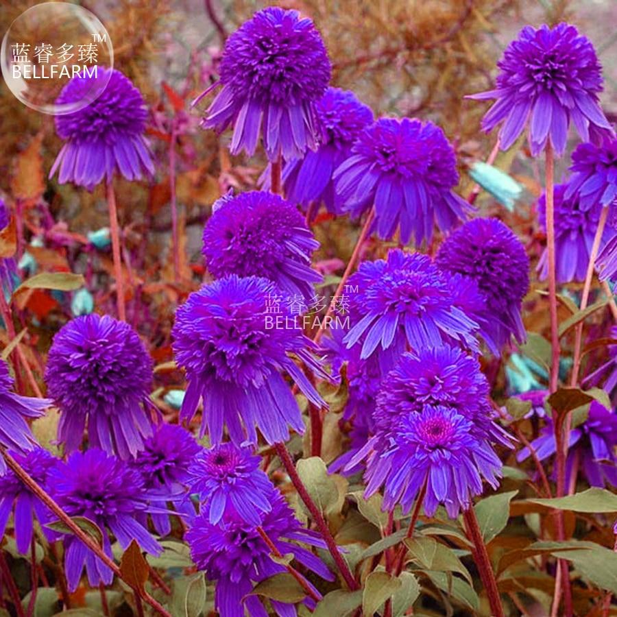 Us 169 Bellfarm Echinacea Purple Ladies Perennial Flower Seeds