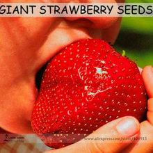 Super Giant Red Strawberry Fruit Seeds Apple Maximus Sized, Professional Pack, 100 Seeds / Pack, Sweet Tasty Juicy Organic