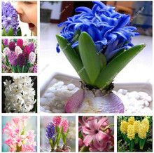 2016 new indoor foliage plants different color Hyacinth seeds , flowering plants, easy to grow - 100 pcs Hyacinthus seeds(China)