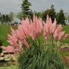 400 Impressive Pink Pampas grass Yard Ornamental Grass  Seeds, so beautiful Free Shipping