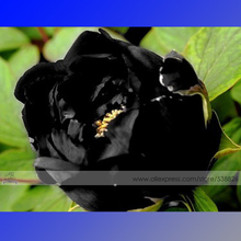 1 Professional Pack, 5 Seeds / Pack, Super Black Tree Peony Seeds, 'Nigra' Rare Peony Tree Plant #NF525