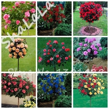 Special Offer!Rare Rose Tree Seeds Chinese Lovely DIY Potted Beautiful Balcony Yard Flower Plant Easy To Grow Home Garden 200Pcs(China)
