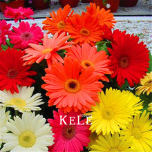 100 Pcs/Bag Promotion!Gerbera Daisy Hybrids Mix Flower Seeds Bonsai plants easy to grow Seeds for home & garden(China)