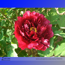 Heirloom Dark Red Middle Peony Tree Flower Seeds, Professional Pack, 5 Seeds / Pack, Strong Fragrant Flower E3200