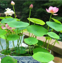 Flower seeds RED LOTUS SEEDS Nymphaea Asian Water Lily Pad Flower Pond Seeds garden decoration plant free shipping 10pcs F125(China)