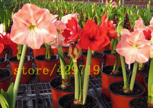 20 color 100 Amaryllis seeds, cheap chinese flower seeds, Barbados lily potted seed, balcony flower for home garden planting
