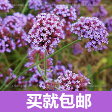 Verbena flower flowers potted plants flower seeds free shipping Yi seed sowing seasons indoor balcony meaty 10 seeds