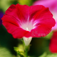 Free shippping/PER PACK/Min order is 8usd,Flower seeds red dwarf  flower double petunia seeds rotating red balcony flower