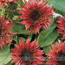 Double Dandy Hybrid Sunflower Ornamental Seeds, Professional Pack, 15 Seeds / Pack, Heavily Ruffled Blooms #NF974(China)