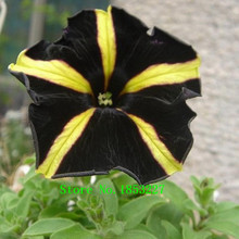 300 pieces Yellow With Black Playmates Petunia Seeds Garden Home Bonsai Plant Petunia Flower Seeds