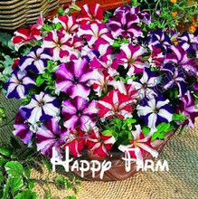 Playmates petunia seeds, hit feather asagao, large exotic flower seeds, bright colors for home & garden, 100seeds/bag