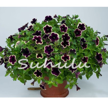 200 Pcs Cascadia Rim Magenta Petunia seeds Dark Purple Blooms With Cream Edge Flower Seeds For Home Bonsai Plants for Decoration