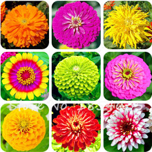 Hot Selling Rare 120 Pcs/Pack Zinnia Seeds Beautiful Green Apple Zinnia Flower Seeds Balcony Courtyard By Flowers Potted Bonsai(China)