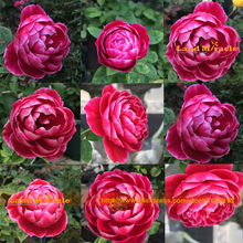 100% True First Case Red Peony Flower Seed, 5 Seeds/Pack, Strong Fragrant Garden Tree Peony Easy Care Plants(China)