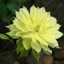 ZLKING 100 PCS Cheap Real Yellow Living Organic Japanese Clematis Hybridas Scented Perennial Exotic Flowering Plants(China)