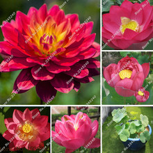 5 Red Lotus Nymphaea Asian Water Lily Pad Flower Pond Seeds Aquatic Plants Seeds