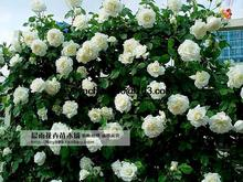 High Quality Bonsai Purple Climbing Rose Seeds For Home Garden 100seeds/bag(China)