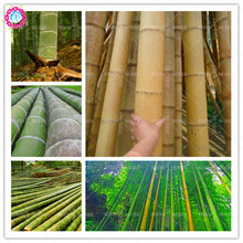 Low price!40 pcs/bag rare giant bamboo seeds spiral Climbing aquatic plant bonsai Evergreen tree seeds potted for home garden(China)