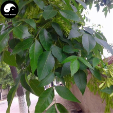 Buy Fraxinus Chinensis Tree Seeds 240pcs Plant Ash Tree For Fraxinus Bai La