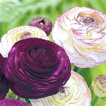 100PCS rare 24 different colors Japanese ranunculus flowers potted bonsai seeds home garden easy to survive