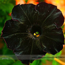 Rare Super Black Cat Petunia Flower Seeds, Professional Pack, 100 Seeds / Pack, New Annual Bonsai Petunia #NF660
