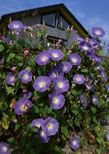 100 Morning Glory Seeds - Japanese Blue Morning Glory (Ipomoea Nil Blue- Seeds ) Dark blue with a purple star and a white edge