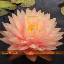 China's Flower New Variety Water Lily Seeds, 1 Seeds/pack, Double Yellow(pink)Lotus Flower Seeds, Perennial Water lotos