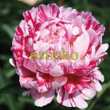 10pcs/lot Heirloom Peony Seeds Candy Stripe Paeonia Lactiflora Seeds Hardy Perennial Bonsai Plant Home Garden Potted Flowers(China)