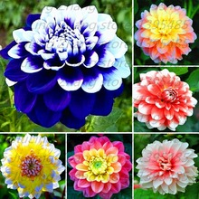 40 pcs/bag dahlia flower dahlia seeds bonsai flower seeds Bright blue dahlia flowers Chinese Peony home garden potted plants(China)