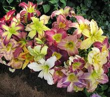 Day Lily Daylily Seeds Browns Ferry Daylily Mix Seeds Hemerocallis Fulva Day-lily Mixed Colors Flower Seeds Ground Cover