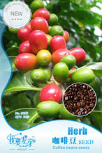 10 Original Packs, 10 seeds /pack, Coffee Bean Seeds, ARABICA COFFEE Plant (Coffea Catura Arabica) SEEDS