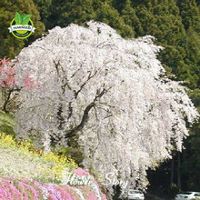 20 Snow fountain weeping cherry tree, DIY Home Garden Dwarf Tree,Rare ,Beautiful ,Drought tolerant,Hardy,Free Shipping