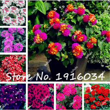 100Pcs Verbena Seeds Perennial Verbena Hybrida Seed Balcony Ornamental Flowers , Multiple Color Choices, the Budding Rate 97%(China)