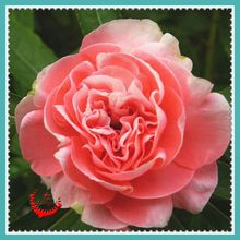 100 Double Camellia Impatiens Seeds rich aroma High-value ornamental plants DIY Gardening