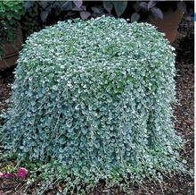100pcs  dichondra seed,Dichondra Repens lawn seeds money grass hanging decorative garden plants do flower seeds for Home garden