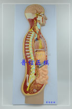 Free ship&The autonomic nervous system model, the whole body sympathetic nerve organ eye intestine, anatomy and medicine teach