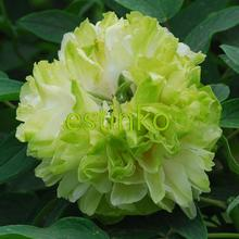 10pcs/lot Heirloom Tree Peony Seeds Lu Mu Ying Yu Paeonia Lactiflora Seeds Paeonia Large Plant Hardy Shrub Garden Bonsai Flower(China)