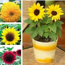 20 seeds/pack Radiant / Fortune / Cls / Teddy Bear / Dwarf Sunflower Seeds Easy To Plant Flower Seeds Flower Seeds