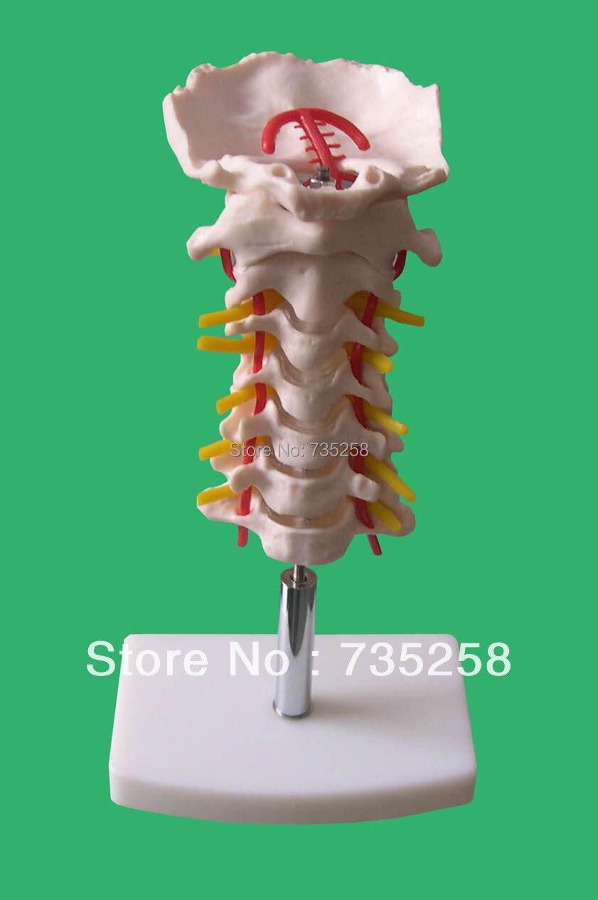 Cervical Vertebral Column with Neck Artery   The simulation model of cervical spine<br>