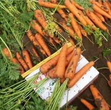 Chihiro six inches Carrot Seed 15seed grams of organic vegetable seeds(China)