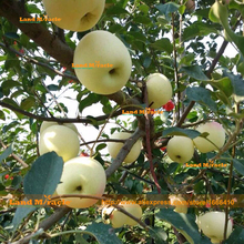 Outdoor Garden 'Apple Tree' Seeds, 100 Seeds/pack, Delicious Juicy White Apple Easy-growing Bonsai Fruit Seeds