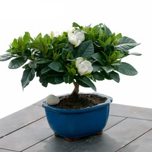 Gardenia Seeds (Cape Jasmine )-Diy Home Garden Potted Bonsai, Amazing Smell & Beautiful Flowers, Free Shipping 20 Particle/bag(China)