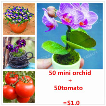 50pcs mini orchid bonsai flower seeds sent 50 tomato seeds for gift fruit and vegetable seeds for flower pot planters only $1.0(China)
