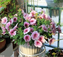 home garden seed 100 Petunia seeds mirage multi-color selection