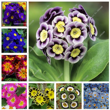 flowers potted flower seeds Four Seasons primrose Primula flowers seed Seed 100pcs